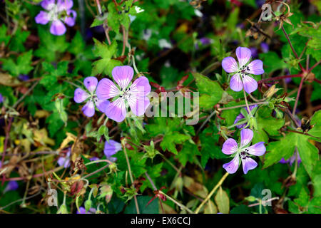 geranium sweet heidy blue white bicolor bicolour geraniums flowers flowering perennial RM Floral - Stock Photo