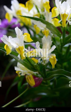 iris bucharica irises spring flower flowers Bukhara corn-leaf bulb bulbour perennial flower flowers spring RM Floral - Stock Photo