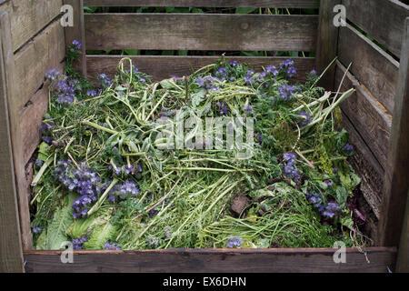 Phacelia Tanacetifolia. Fiddleneck plants on a compost heap - Stock Photo