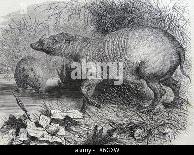 Engraving depicting the Barbarossa, a recent addition to the Zoological Society's Gardens, Regent's Park, London. - Stock Photo