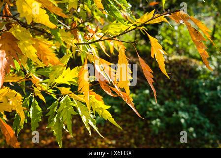 Fagus Asplenifolia cut-leaf beech with leaves changing colour in autumn - Stock Photo