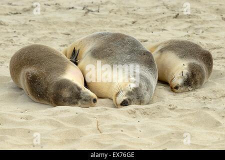 Australian Sea-Lion Neophoca cinerea Endangered species, Photographed on Kangaroo Island,  South Australia - Stock Photo