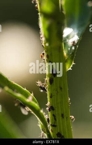Black aphids sucking sap from plants, pest  Hemiptera on ox eye daisy stem being farmed cultivated by ants for sweet - Stock Photo