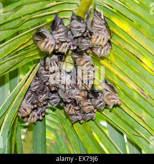 Tent Making Bats (Uroderma bilobatum), Costa Rica - Stock Photo