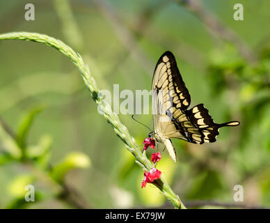 Swallowtail Butterfly Papilionidae on flower - Stock Photo