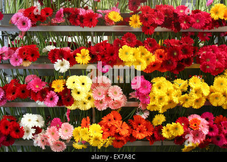 Racks of brightly coloured gerber daisies, nursery, California. - Stock Photo