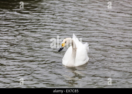 Bewick's swan (Cygnus bewickii) swimming, Wetlands & Wildfowl Trust, Arundel, West Sussex, southeast England,UK - Stock Photo