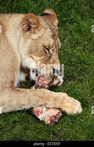 Katanga lion (Panthera leo bleyenberghi), also known as the Southwest African lion at Usti nad Labem Zoo, Czech - Stock Photo