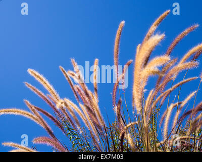 Purple fountain grass waving in the breeze against clear blue sky
