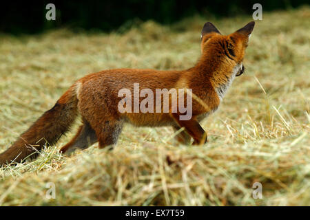 Cute Red Fox cub playing in the hay field - Stock Photo