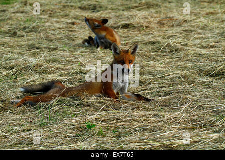 Pair of fox cubs in a hay field one scratching an itch, the other stretching out enjoying the sunshine Red coat - Stock Photo