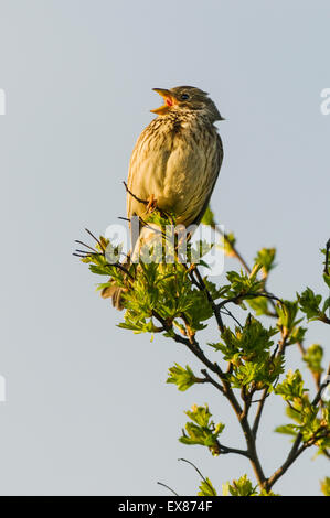 Corn Bunting (Miliaria calandra) adult, calling, perched on hawthorn, North Kent Marshes, Isle of Sheppey, Kent, - Stock Photo