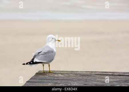 A Common Gull, Larus canus by Luskentyre Beach on the Isle of Harris, Outer Hebrides, Scotland, UK. - Stock Photo