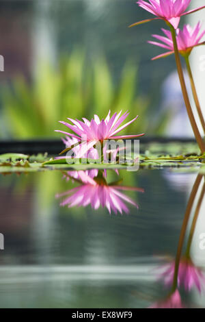 Nymphaea pubescens. Pink Water Lilies - Stock Photo