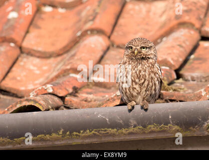 Adult Little Owl (Athene noctua) perched on roof guttering of farmhouse - Stock Photo