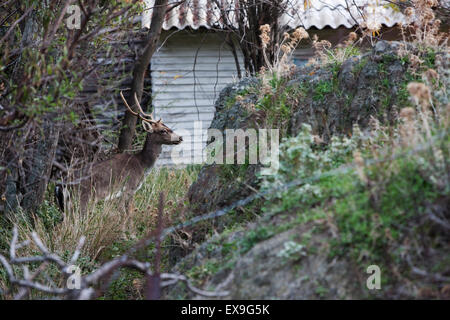Young fallow deer buck seen entered the yard of a house to feed. Myrina, Lemnos island, Greece - Stock Photo