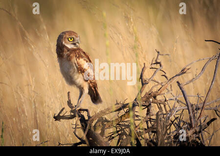 Burrowing Owl perched on limbs in afternoon light - Stock Photo