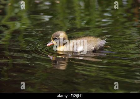 Fuzzy baby duck Stock Photo: 3380637 - Alamy