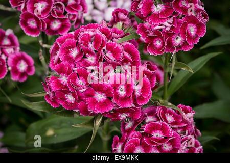 Sweet William flowers. - Stock Photo
