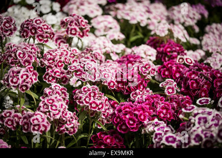A bed of Sweet William flowers Dianthus barbarous in a garden in Cornwall. - Stock Photo