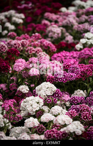 A bed of sweet William flowers in the Lost Gardens of Heligan in Cornwall. - Stock Photo