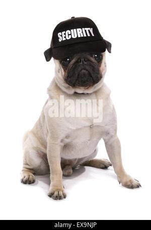 guard dog pug studio cutout - Stock Photo