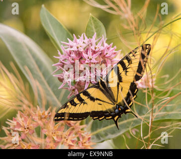Butterflies, Eastern Tiger Swallowtail Butterfly feeding off nector from Bloomimg Common Milkweed plant. Idaho, - Stock Photo