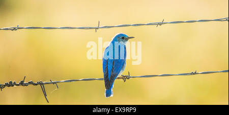 Birds,Male Mountain Blue Bird perched on a fence. Idaho State Bird, Idaho, USA - Stock Photo
