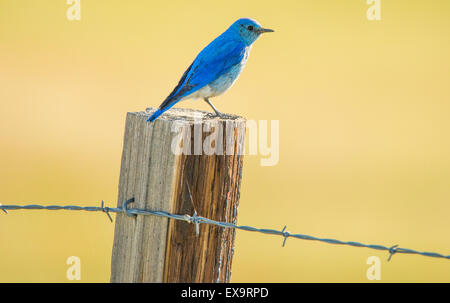 Birds, Mountain Blue Bird perched on a fence post,Idaho State Bird, Idaho, USA - Stock Photo