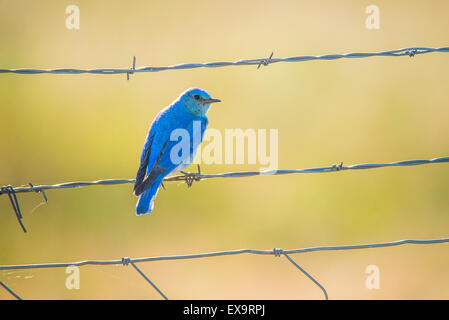 Birds, Male Mountain Blue Bird perched on a fence. Idaho State Bird, Idaho, USA - Stock Photo