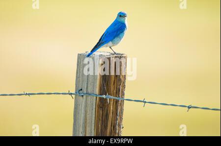 Birds, Male Mountain Blue Bird perched on a fence and post, Idaho State Bird, Idaho, USA - Stock Photo