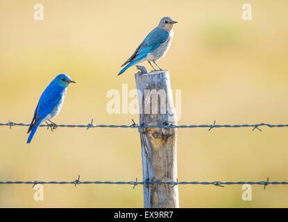 Birds, Male and Female Mountain Blue Birds perched on a fence. Idaho State Bird, Idaho, USA - Stock Photo