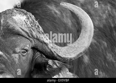 South Africa, Kruger National Park, Close-up view of Cape Buffalo (Syncerus caffer) in shallow stream on summer - Stock Photo