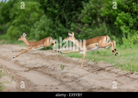 Africa, Botswana, Chobe National Park, Impala (Aepyceros melampus) leaping across safari track near Chobe River - Stock Photo