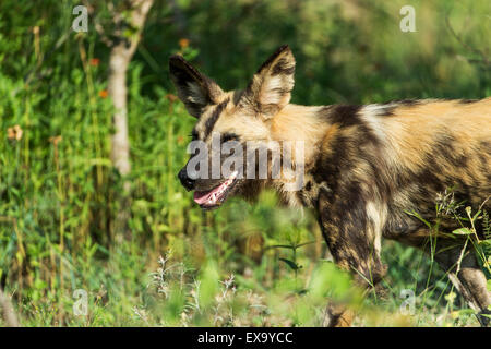 South Africa, Kruger National Park, Wild Dog (Lycaon pictus) walking at forest's edge - Stock Photo