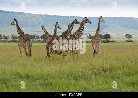 Herd of Masai giraffes, Masai Mara, Kenya - Stock Photo