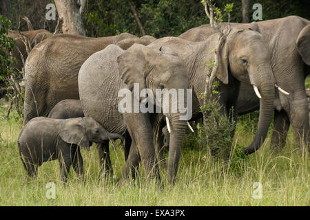 Group of elephants in woodland, Masai Mara, Kenya - Stock Photo