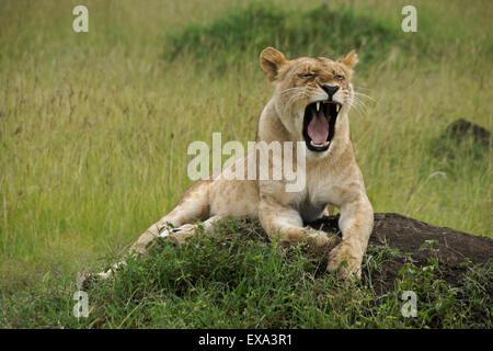 Lioness yawning on top of termite mound, Masai Mara, Kenya - Stock Photo
