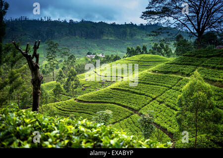 Tea fields in the mountain area in Nuwara Eliya, Sri Lanka - Stock Photo