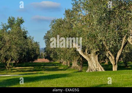 Italy, Tuscany, olive trees in garden - Stock Photo