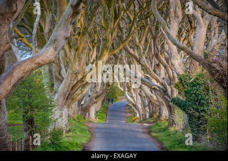 The Dark Hedges in Northern Ireland, beech tree avenue, Northern Ireland, United Kingdom, Europe - Stock Photo