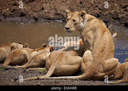 Lions (Panthera Leo) drinking, lionesses and cubs, Ngorongoro Crater, Tanzania, East Africa, Africa - Stock Photo