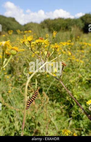 Cinnabar moth caterpillars (Tyria jacobaeae) feeding on Ragwort plants (Senecio jacobaea), Corfe Common, Dorset, - Stock Photo