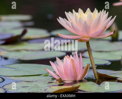 Two pink water lilies - Stock Photo