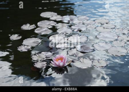 A single water lily on a pond. - Stock Photo