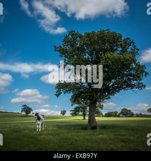 Black and white cow in a beautifully lit English pasture - Stock Photo