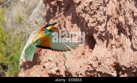 european bee-eater in flght with a cicada on its beak - Stock Photo