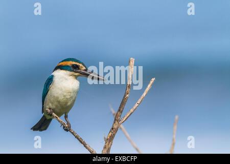 A Collared kingfisher (Todiramphus chloris manuae) perching on the island of Ta'u in American Samoa - Stock Photo