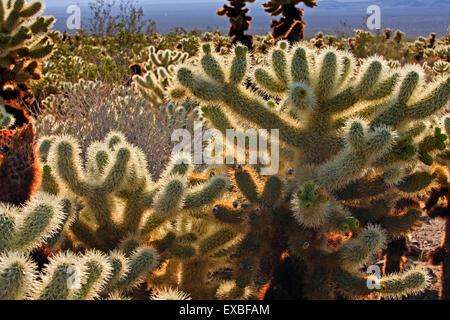 Cactaceae California Cholla Cactus Cholla Cactus Garden Cylindropuntia bigelovii Cylindropuntia fulgida Joshua Tree - Stock Photo