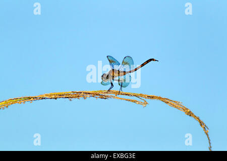 Dragonfly resting on leaf. - Stock Photo